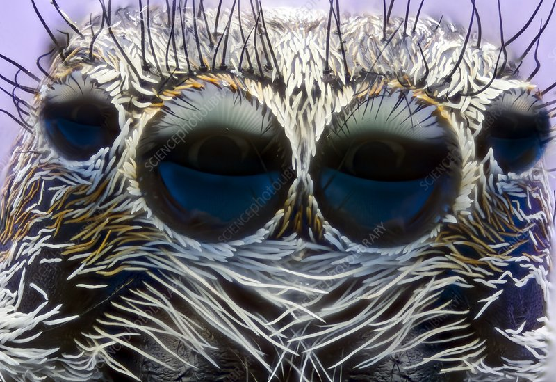 Jumping spider head