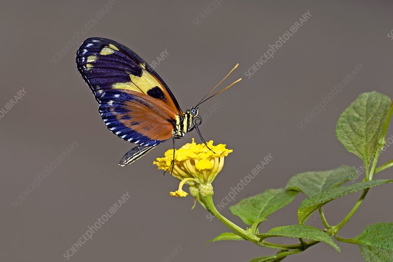 Tiger longwing butterfly on a flower