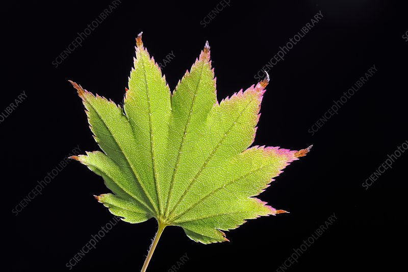 Japanese maple (Acer japonicum) leaf
