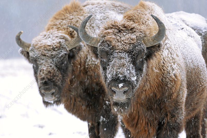 European bison in snow