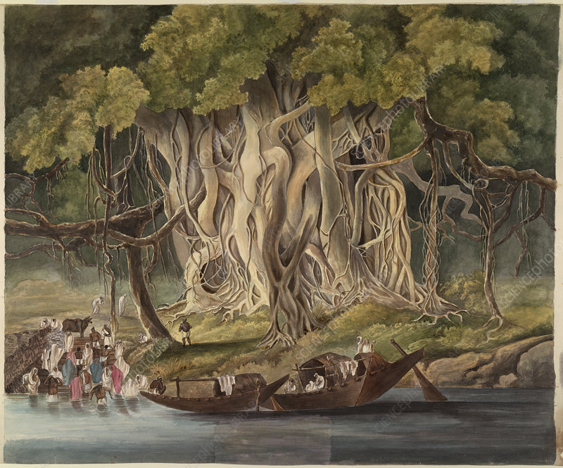 Landscape with Banyan tree