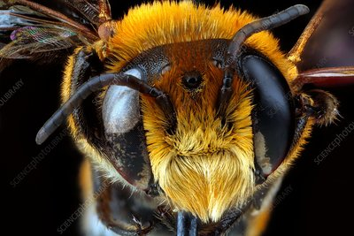 Male bee head