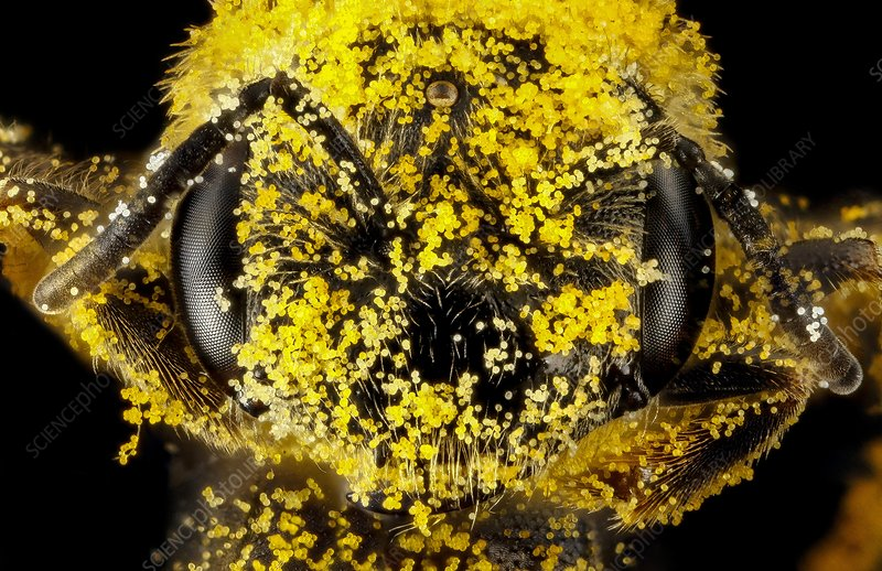 Female sweat bee head with pollen