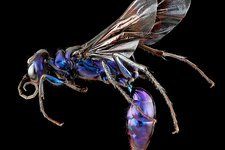 Steel blue cricket hunter wasp