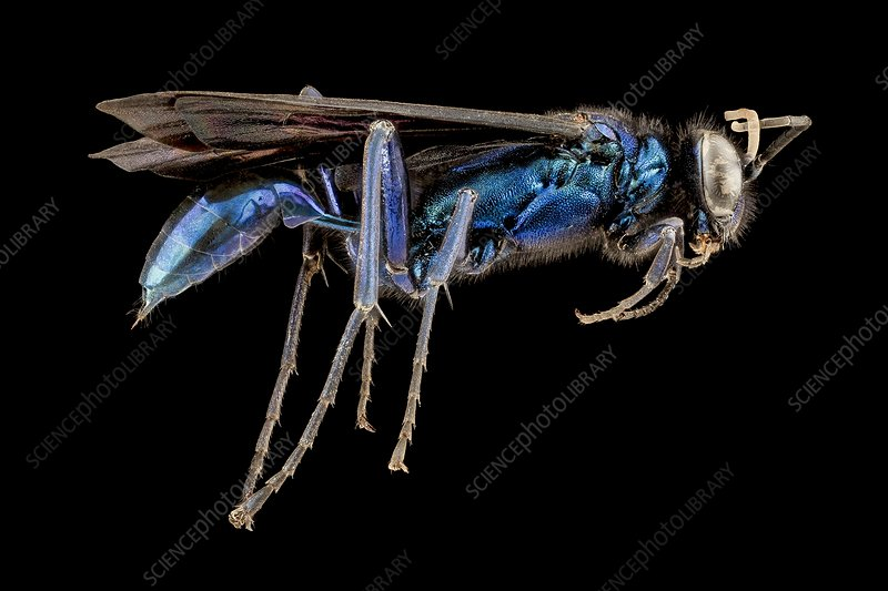 Female blue mud dauber wasp