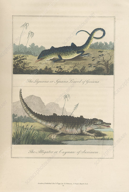 Iguana and alligator