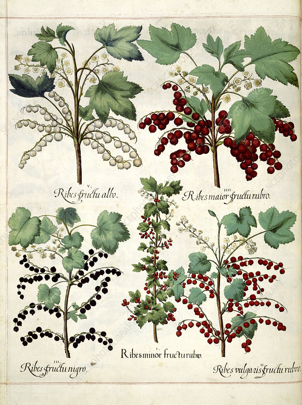 Red and blackcurrant plants