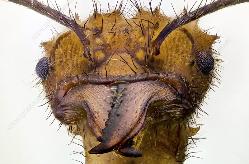 Leafcutter ant head