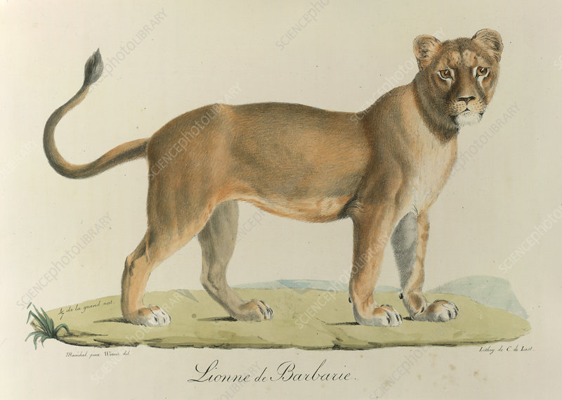 A Barbary lioness