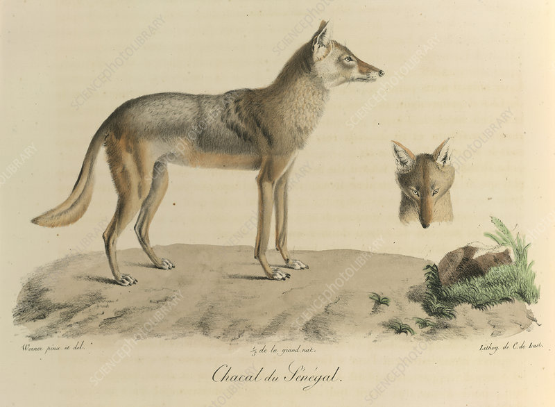 A jackal of Senegal