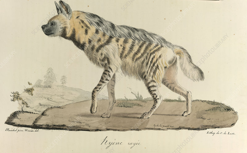 A striped hyena