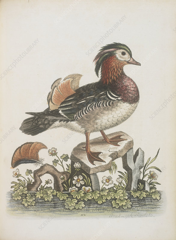 The Chinese teal