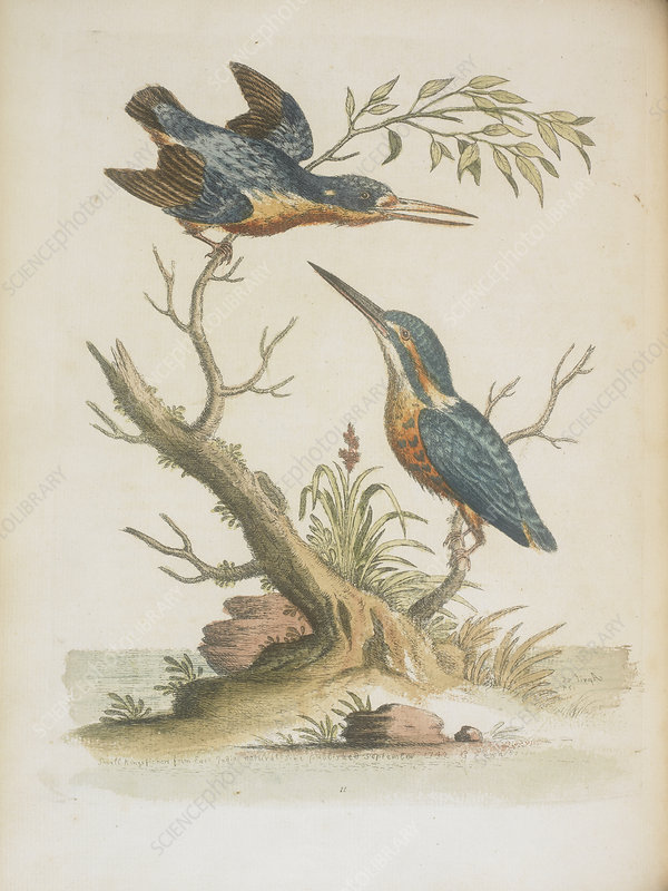 Indian kingfishers