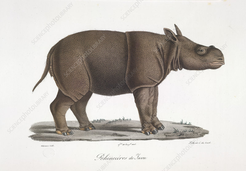 A rhinoceros of Java