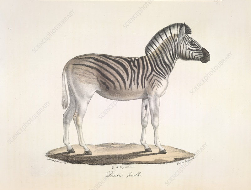The striped zebra of south Africa