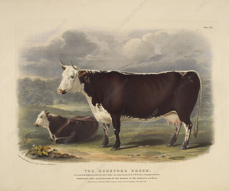 Galloway breed