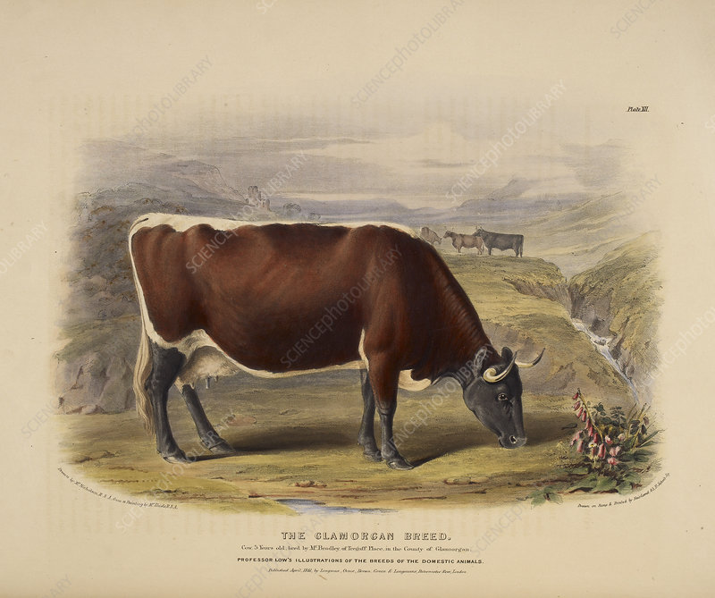The Ayshire breed