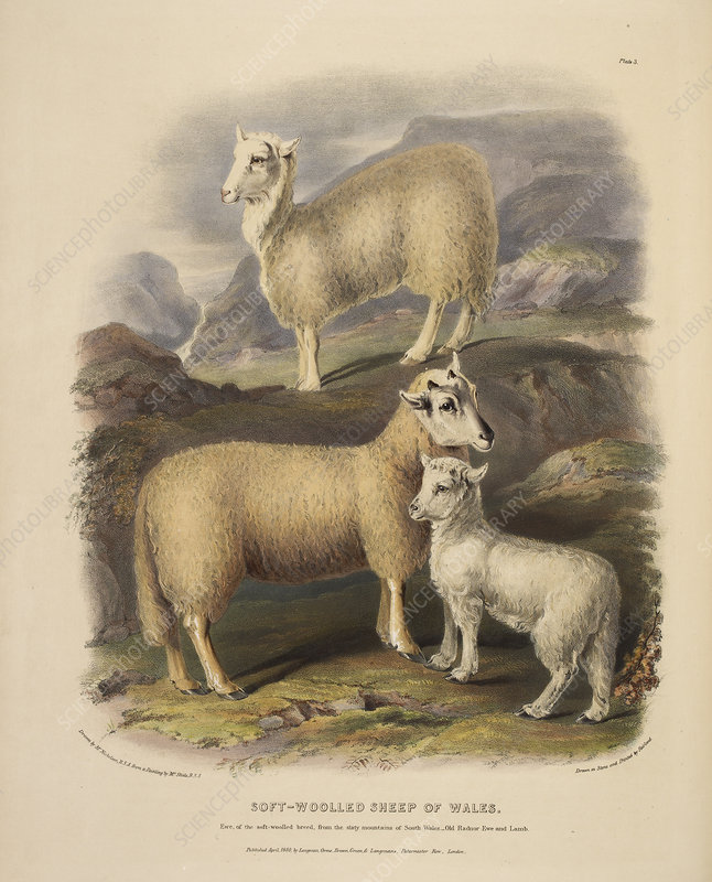 Soft-woolled sheep of Wales