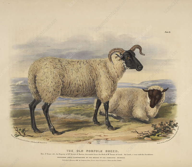 The old Norfolk breed
