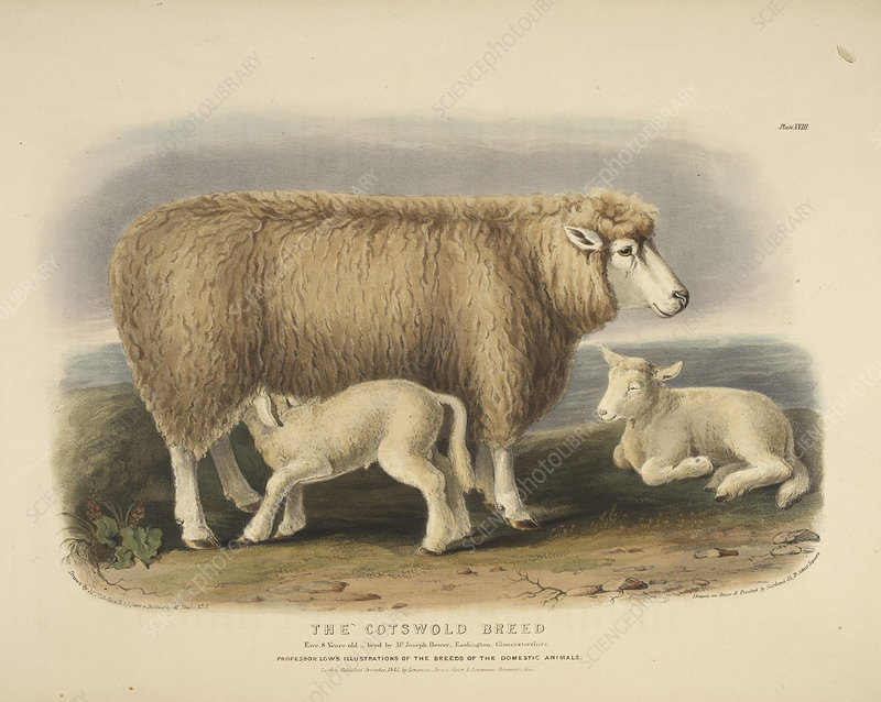The Cotswold breed