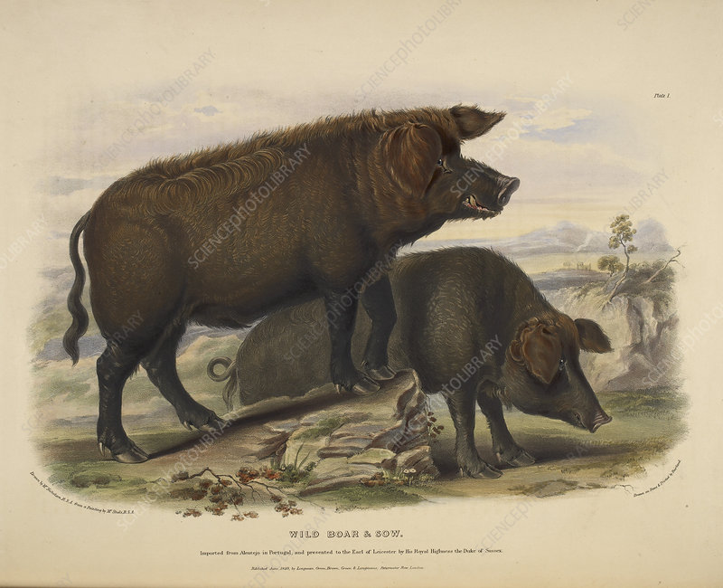 Wild boar and sow