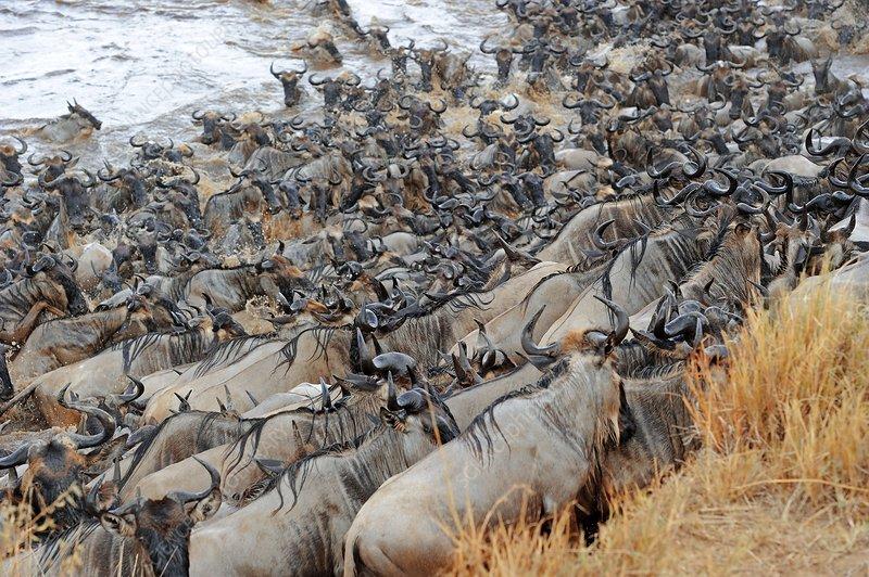 Ungulate Migration Blue wildebeest migrat...