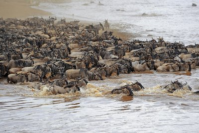 Blue wildebeest migration