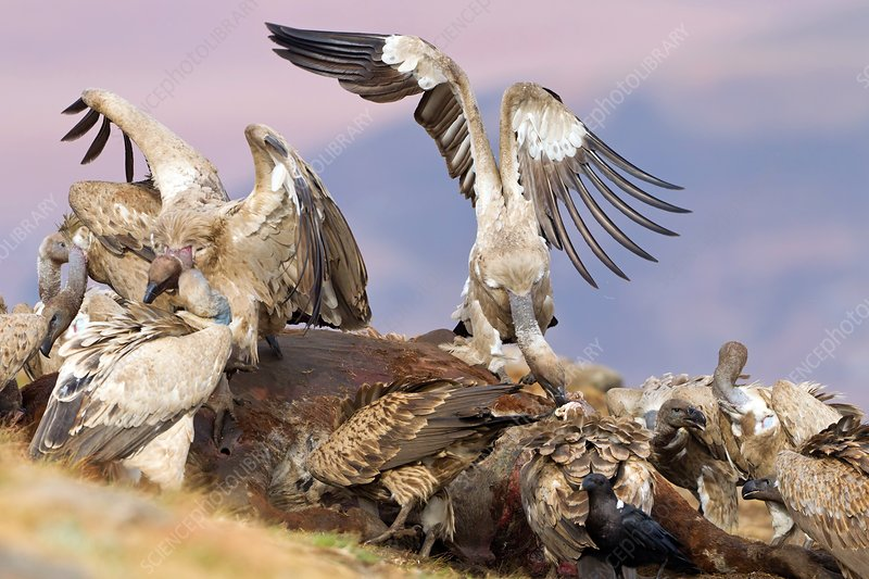 Cape vultures feeding