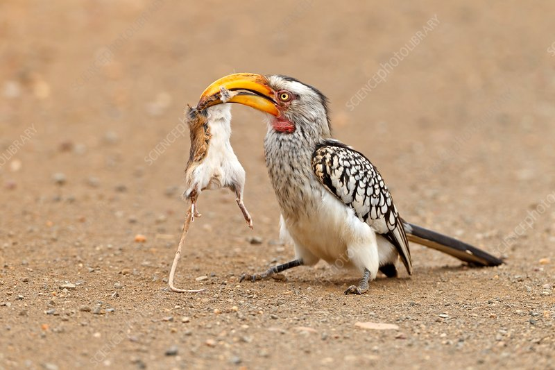 Southern yellow-billed hornbill with prey