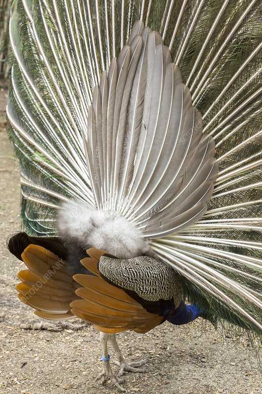Peacock tail support feathers