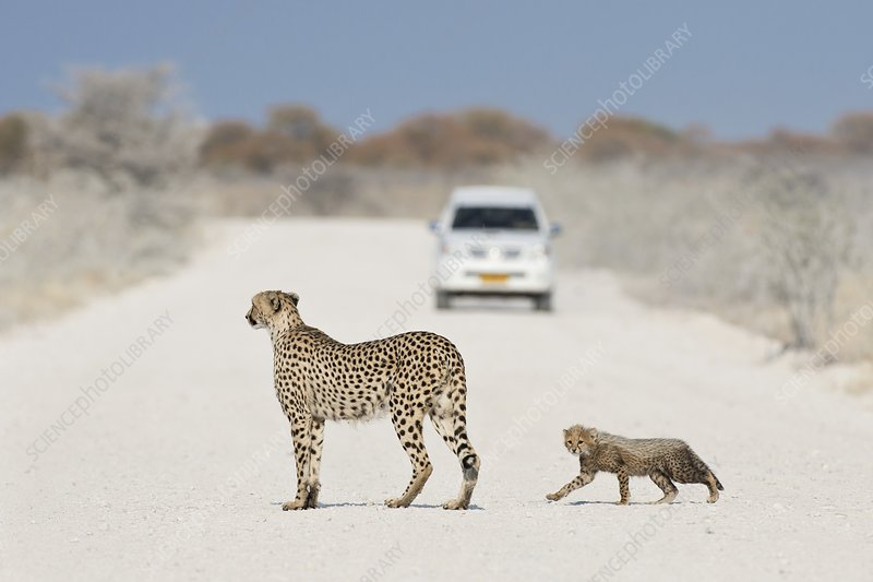 Cheetah Female with Cub
