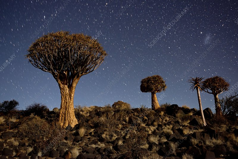 Quiver tree forest at night showing stars