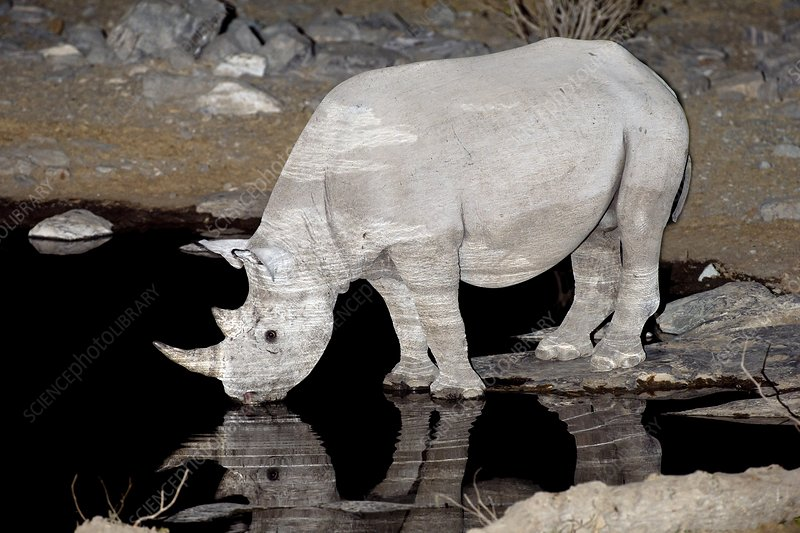 Black Rhinoceros drinking