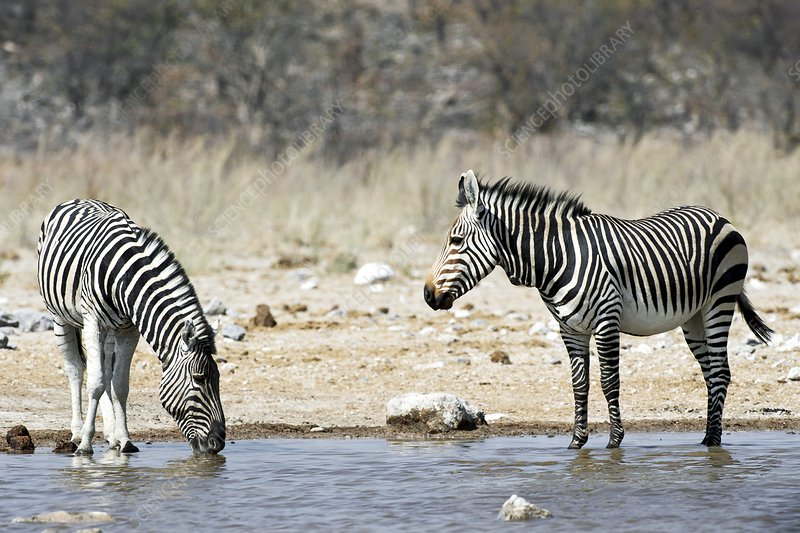 Burchell's and Hartmann's Zebras drinking