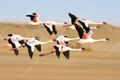 Lesser Flamingoes in Flight