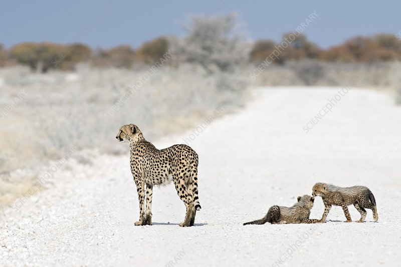 Cheetah Female with Cubs