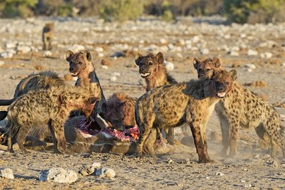 Spotted Hyenas feeding on a Kudu