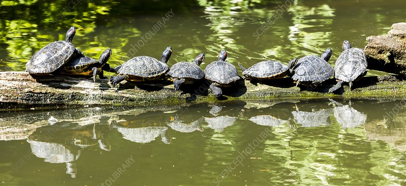 Yellow-bellied and red-eared terrapins