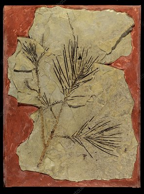 Voltzia conifer fossil