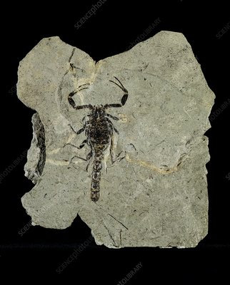 Gallio scorpion fossil