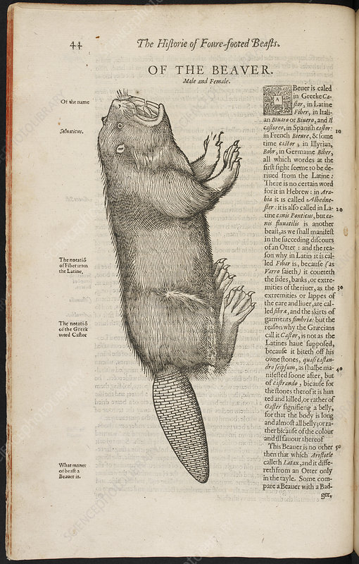 An illustration of a beaver