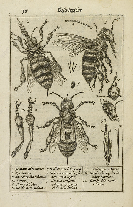 Diagrams showing the anatomy of a bee