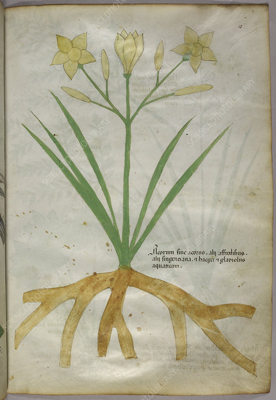 Botanical illustration of a plant