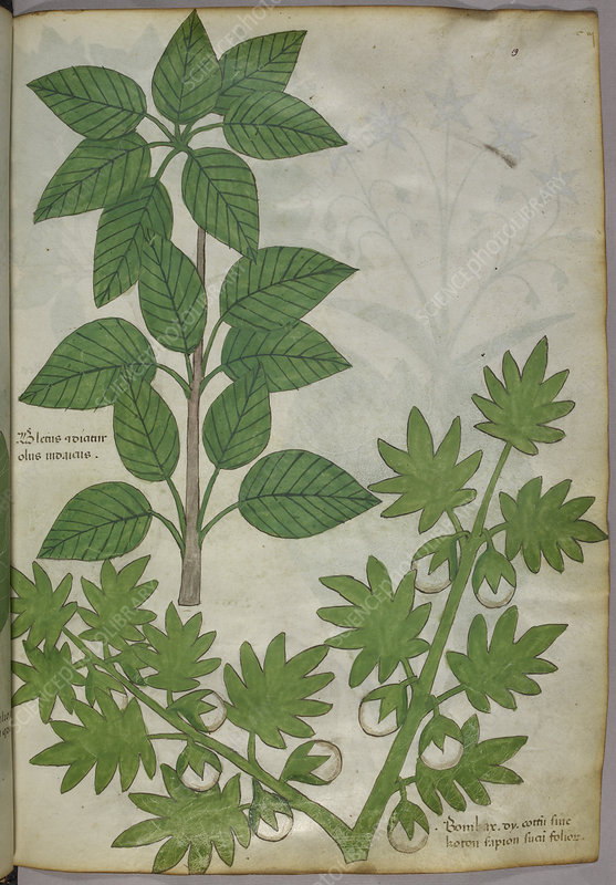 Botanical illustration of plants