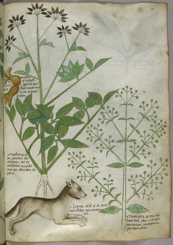 Illustration of a plant and a wolf