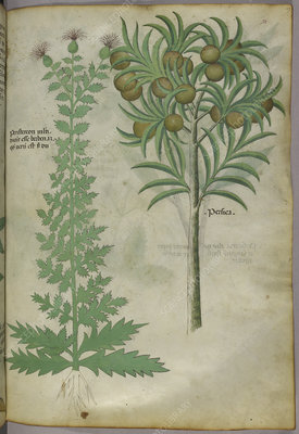 Botanical illustration of melon tree