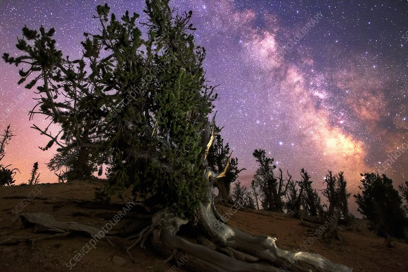 Milky Way over bristlecone pines, USA