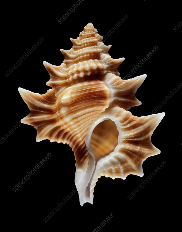Winged frog shell sea snail shell