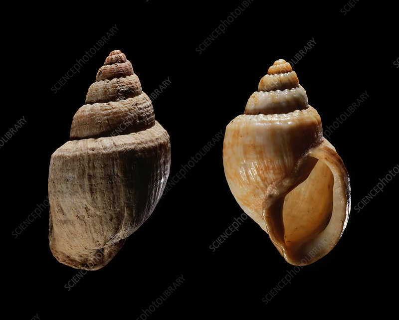 Land snail shells