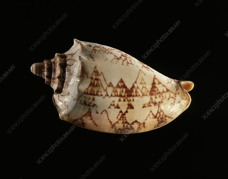 Volute sea snail shell